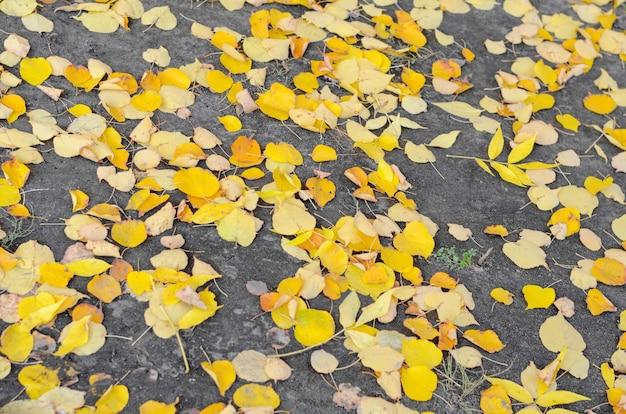 Fallen ash tree autumn leaves