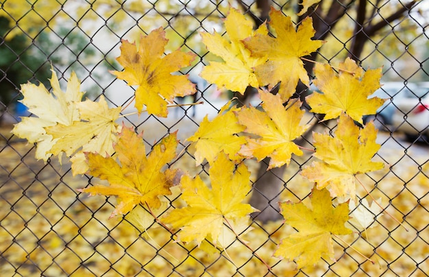 A fallen autumn leaves caught on a wire fence