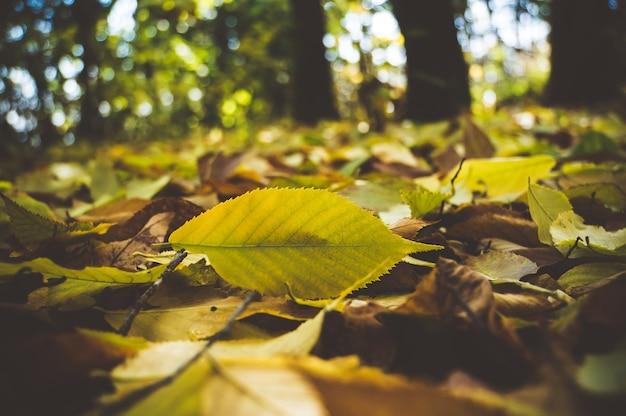 화창한 아침 햇살에 잔디에 떨어진 가을 단풍, 톤의 사진. 복사 공간이 있는 노란 잎 근접 촬영
