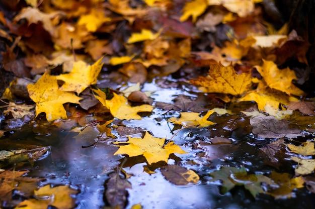 水たまりに落ちた秋のカエデの葉