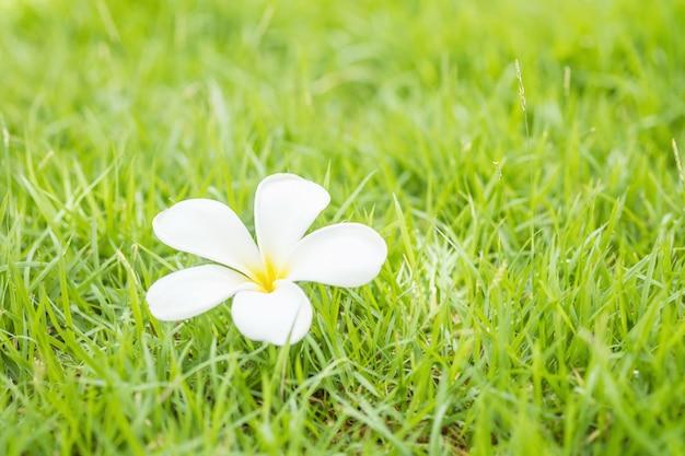 落ちた美しい白い花、庭のぼやけの新鮮な緑の芝生床テクスチャ背景の砂漠のバラの花
