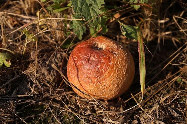 Упавшее с дерева гнилое яблоко на земле в деревенском саду