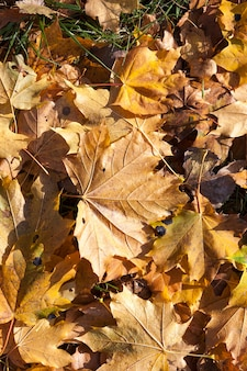 Fallen to the ground yellowed maple leaves in autumn season. small depth of field. foliage color is not bright