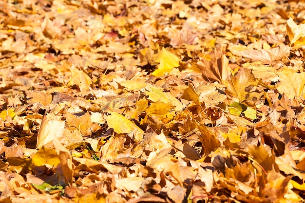 The fallen to the ground yellowed maple leaves in autumn season