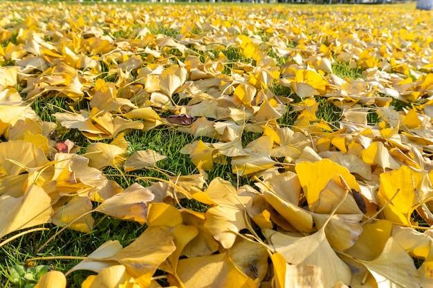 가을 공원 잔디에 은행나무의 낙엽