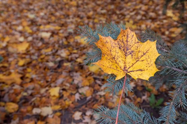 배경 흐리게에 가문비 나무 가지에 떨어진 단풍 잎