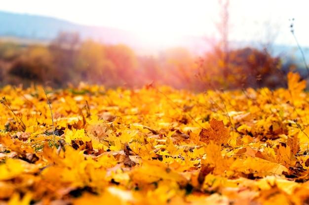 Опавшие кленовые листья на фоне деревьев и кустов во время заката