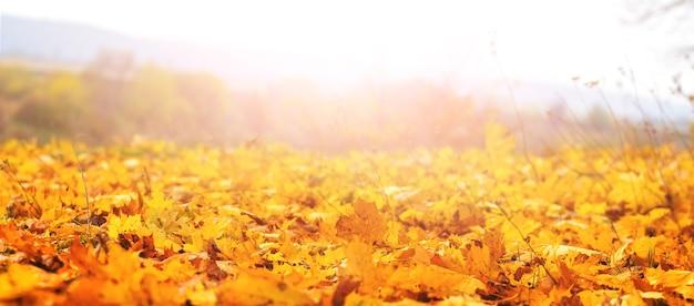 晴れた天気、秋の背景に地面に落ちたカエデの葉