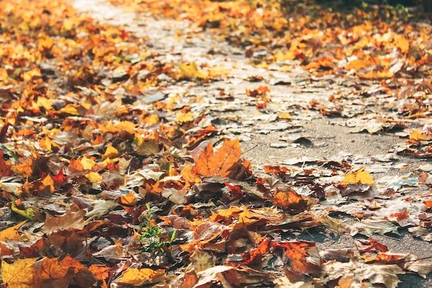 Fallen maple leaves on the sidewalk, pile of fallen leaves in a yard.