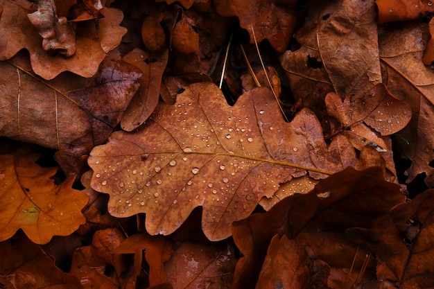Fallen oak leaves background late autumn concept brown texture of oak leaves with water drops