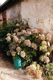 Fallen pink hydrangea flower heads in the autumn near old house. garden watering can.