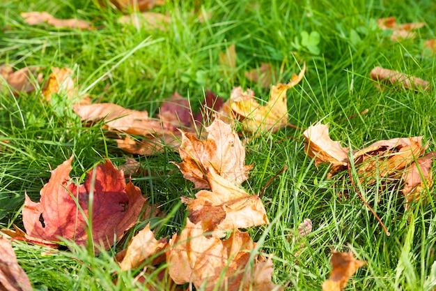緑の草の上に落ちた赤とオレンジの葉のカエデ