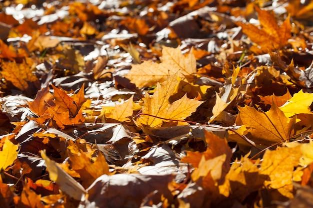 日当たりの良い暖かい天候の秋の公園の領土、落葉樹の落ちた日光に照らされた葉