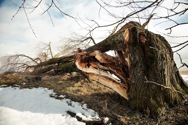 A fallen tree after a hurricane against the blue sky.