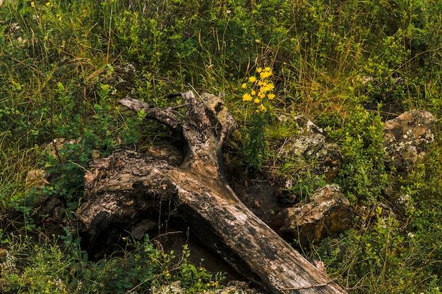 Упавшее дерево лежит на земле в зеленой траве с цветами. маленькие желтые одуванчики растут возле корня среди зелени крупным планом.