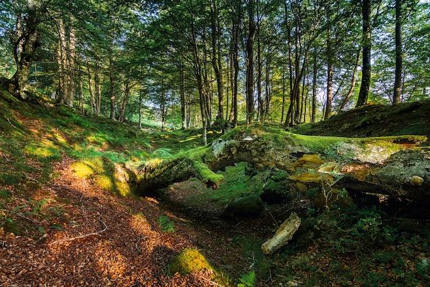 秋の夜明けに森の中で倒れた木の幹