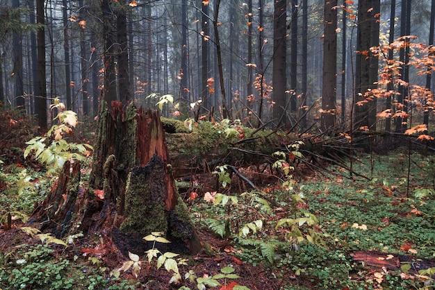 가을 안개 낀 북부 숲에서 오래 된 나무의 타락 한 줄기