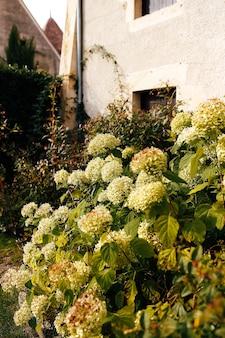 Fallen white hydrangea flower heads in the autumn near old house.