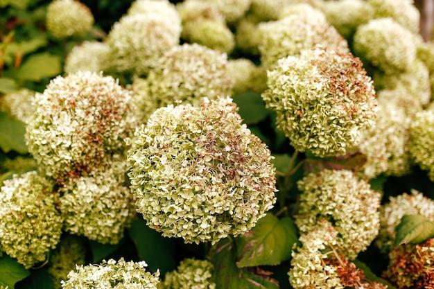Fallen white hydrangea flower heads in the autumn.