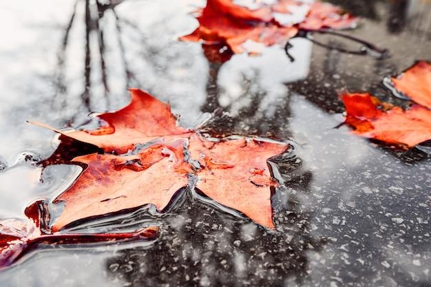 타락 한 노란색 단풍도 근접 촬영에 웅덩이에. 가을 단풍 화려한 잎 가까운