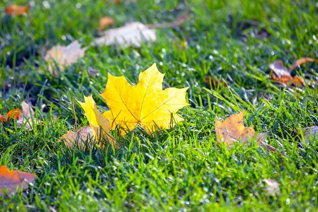 Fallen yellow autumn tree leaf on green grass