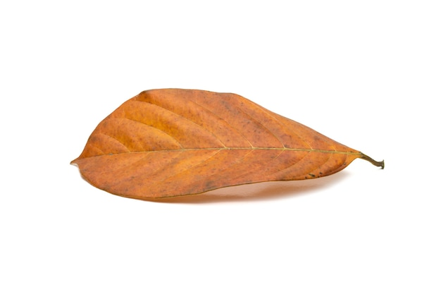 Fallen yellow jackfruit leaf with texture on isolated white background