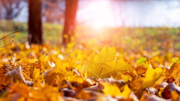 Опавшие желтые кленовые листья возле дерева на берегу реки в солнечный день. осенний фон