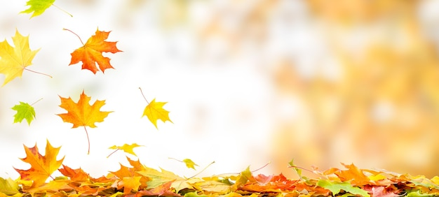 Falling autumn maple leaves natural background. colorful foliage banner with copy space.