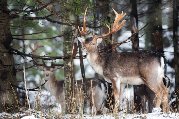 Fallow deer dama dama with big antlers looking at camera in winter forest behind the tree.