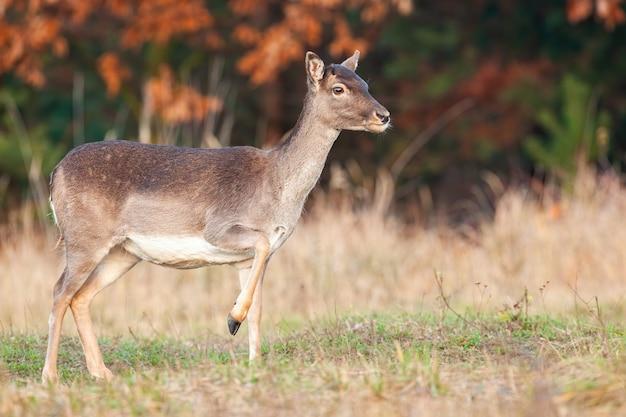 Самка лани, стоящая на поле в осенней природе.