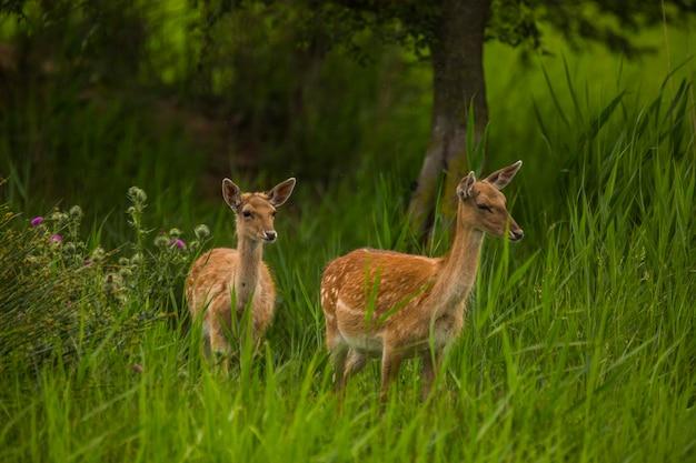 スペインのaiguamollsdel'emporda自然保護区のダマジカ。