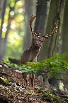 Лань смотрит в камеру в лесу в вертикальном кадре