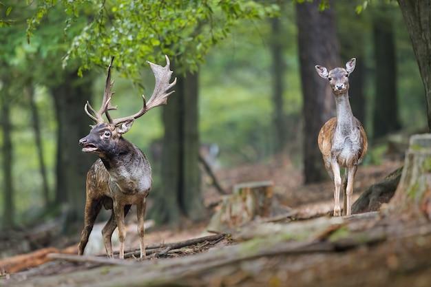 Fallow deer roaring in the forest