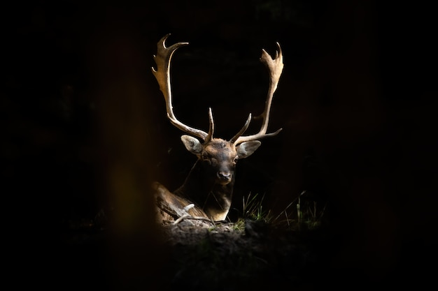 Fallow deer stag lying in forest illuminated by the sunlight