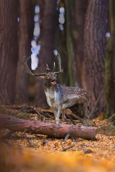 Рев оленя оленя в осеннем лесу.