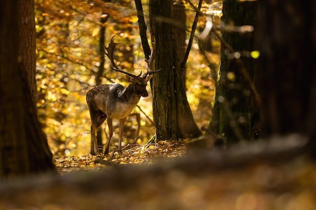 가 맑은 숲에서 걷는 휴 경지 사슴 사슴