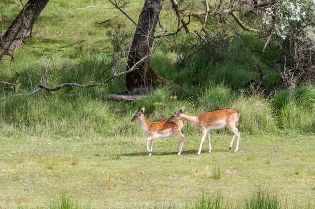 Fallow deer whit baby in nature