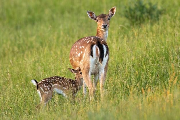 Лань с олененком, стоя на лугу в летней природе