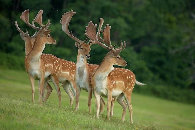Fallow deers walking in a forest