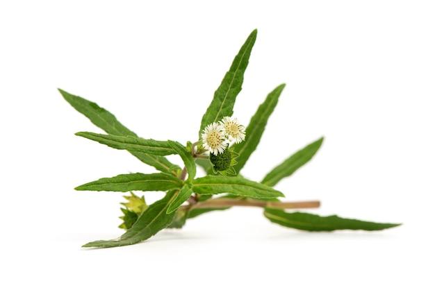 거짓 데이지 또는 일식 prostrata, 꽃과 자연 표면에 녹색 잎.