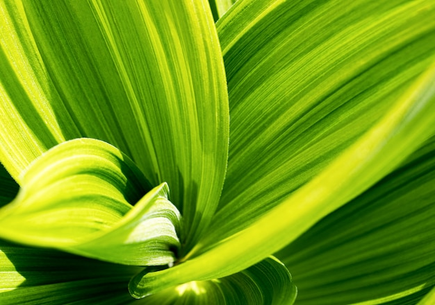 緑色の葉。ベラトラム、false helleboreテクスチャのクローズアップ