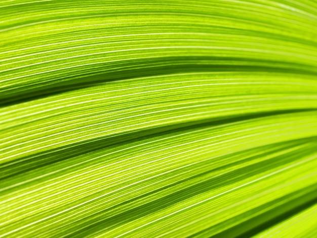 緑の葉の要約。ベラトラム、false helleboreテクスチャのクローズアップ