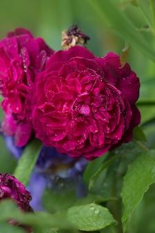 Розы фальстаф в саду. английская роза фальстаф. фиолетовая роза на ветке в саду