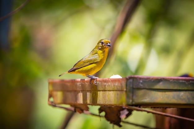 Famale пурпурная эуфония (euphonia chlorotica) ака фим фим птица ест банан