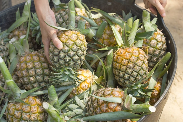 A famer show their goods to customer,show the best pineapple to customer.