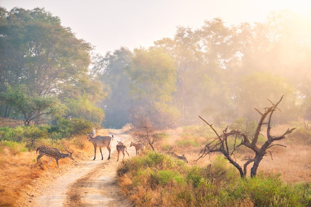 Families of blue bull nilgai and spotted deers in ranthambore national park. rajasthan, india.