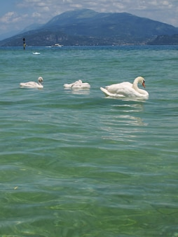 Family of beautiful swans view to lake garda and mountains