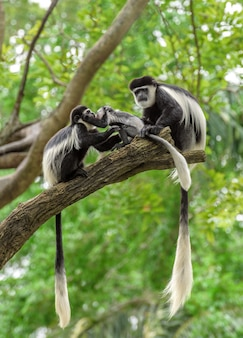 Family of black and white colobus monkeys sitting on a tree branch