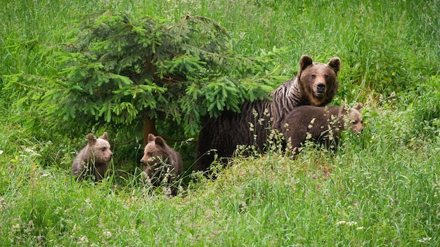 Family of brown bearmoving on pasture in green nature