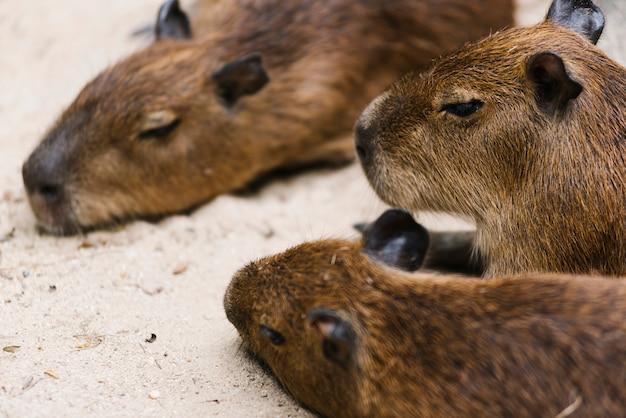 A family of capybara relaxing